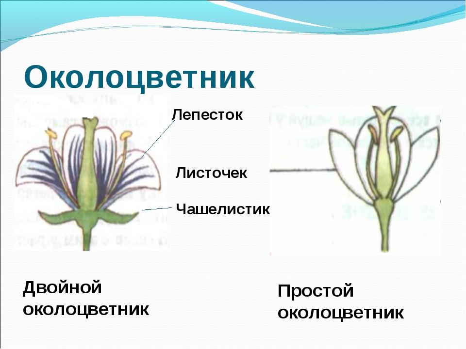 Околоцветник Лепесток Листочек Чашелистик Двойной околоцветник Простой околоц...