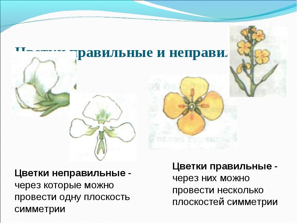 Цветки правильные и неправильные Цветки неправильные - через которые можно пр...