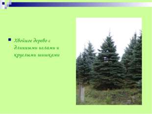 Хвойное дерево с длинными иглами и круглыми шишками