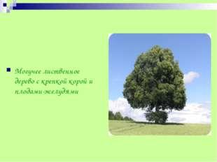 Могучее лиственное дерево с крепкой корой и плодами-желудями