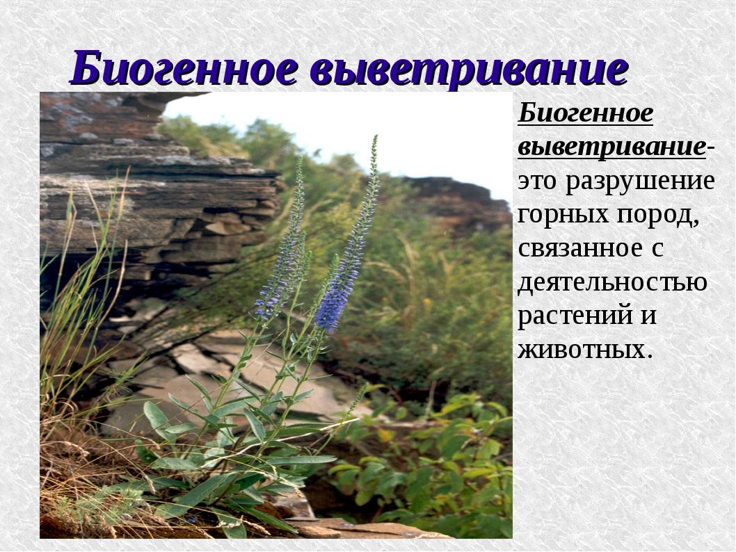 Биогенное выветривание Биогенное выветривание- это разрушение горных пород, с...