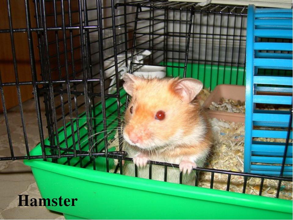 Хомяки уход и содержание в домашних условиях размножение