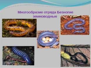Многообразие отряда Безногие земноводные