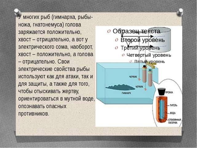 У многих рыб (гимнарха, рыбы-ножа, гнатонемуса) голова заряжается положительн...