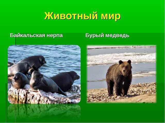 Животный мир Байкальская нерпа Бурый медведь