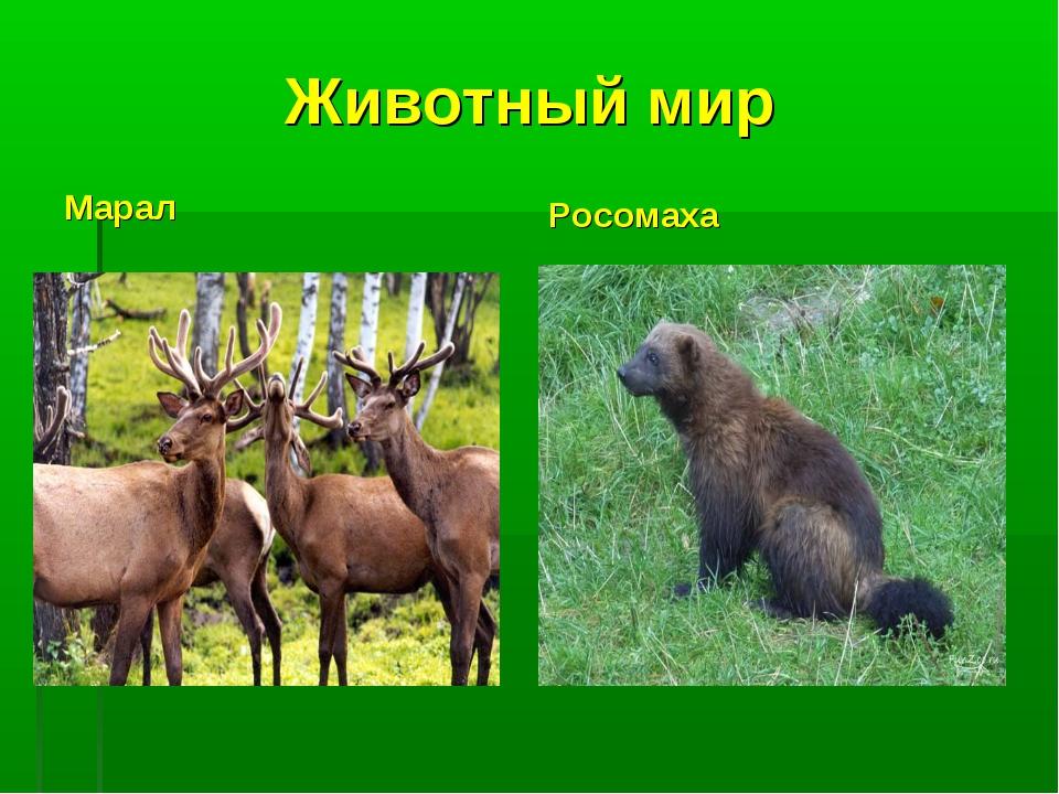 Животный мир Марал Росомаха