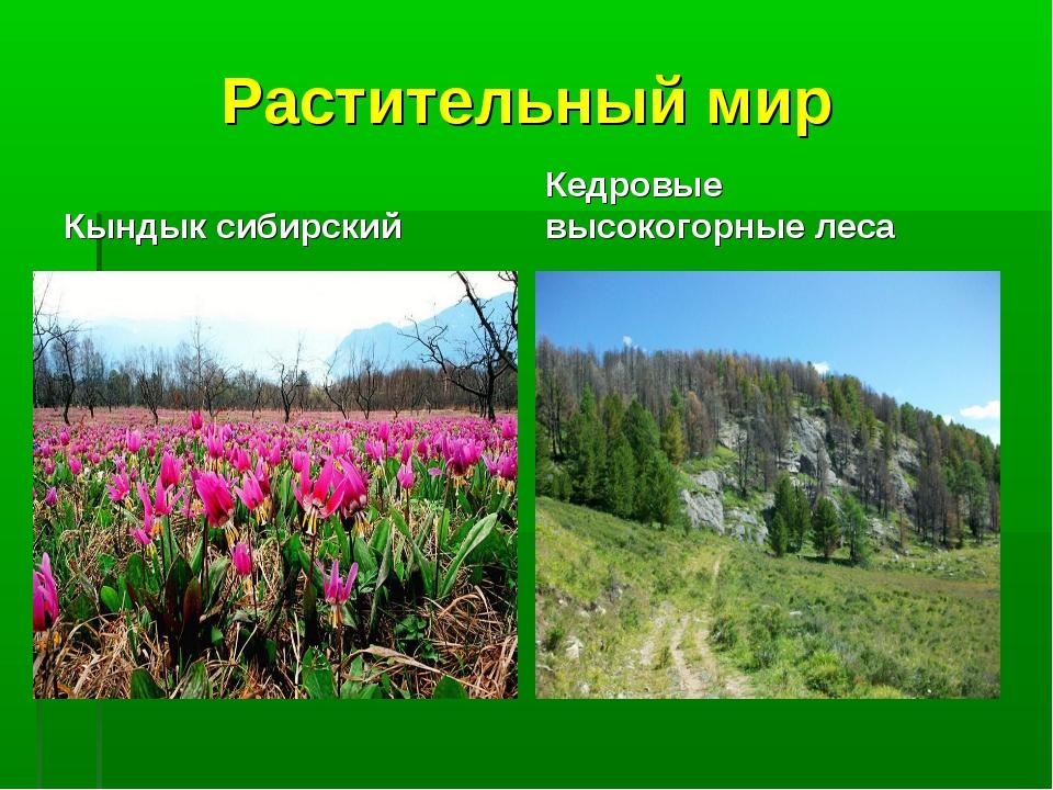 Растительный мир Кындык сибирский Кедровые высокогорные леса
