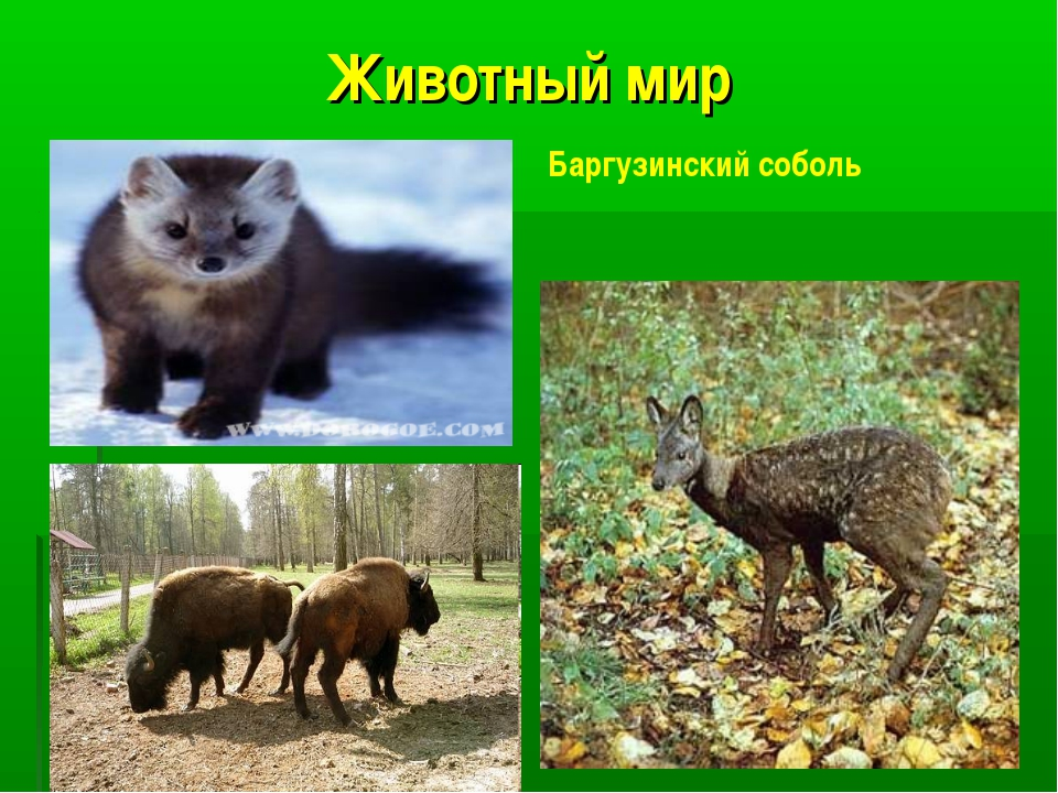 Животный мир Баргузинский соболь Баргузинский соболь