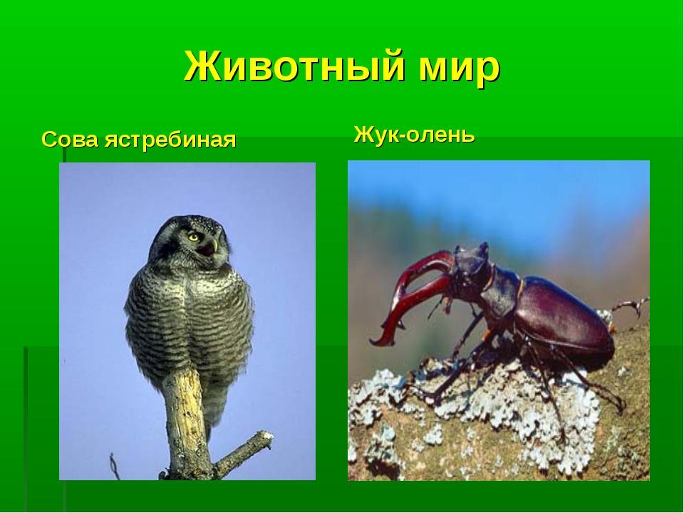 Животный мир Сова ястребиная Жук-олень