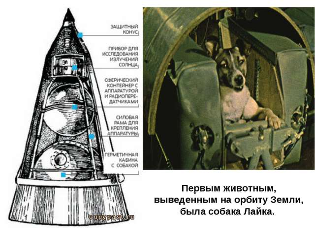 Первым животным, выведенным на орбиту Земли, была собака Лайка.
