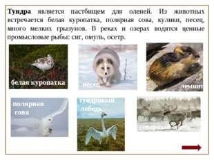 Тундра является пастбищем для оленей. Из животных встречается белая куропатка