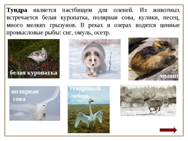 Тундра является пастбищем для оленей. Из животных встречается белая куропатка...