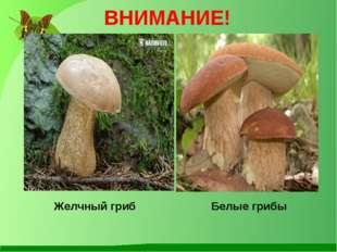 ВНИМАНИЕ! Желчный гриб Белые грибы