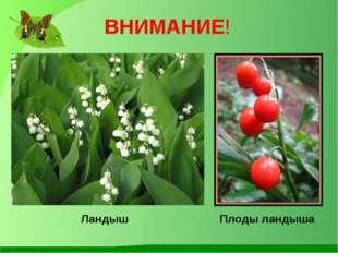 Ландыш Плоды ландыша ВНИМАНИЕ!