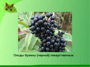 Плоды бузины (черной) лекарственные