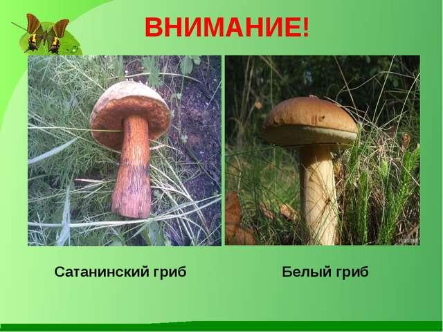 ВНИМАНИЕ! Сатанинский гриб Белый гриб