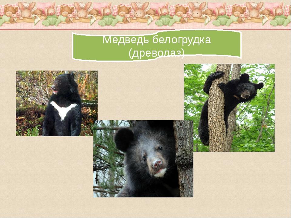 Медведь белогрудка (древолаз)