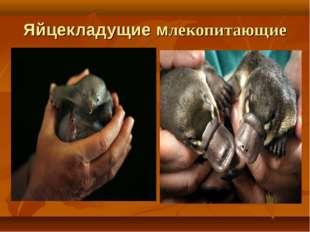 Яйцекладущие млекопитающие .