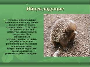 Яйцекладущие Подклассяйцекладущие млекопитающиепредставлен только одним отр