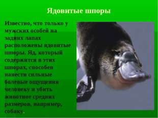 Известно, что только у мужских особей на задних лапах расположены ядовитые ш