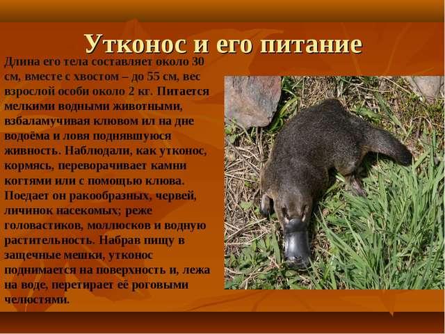 Утконос и его питание Длина его тела составляет около 30 см, вместе с хвостом...