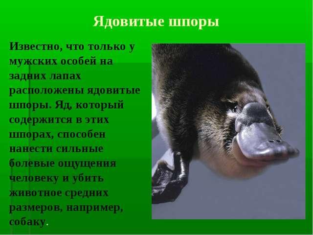 Известно, что только у мужских особей на задних лапах расположены ядовитые ш...