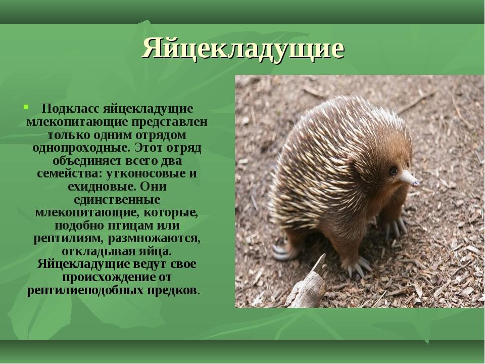 Яйцекладущие Подклассяйцекладущие млекопитающиепредставлен только одним отр...