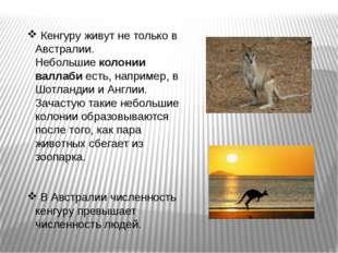 Кенгуру живут не только в Австралии. Небольшиеколонии валлабиесть, наприме
