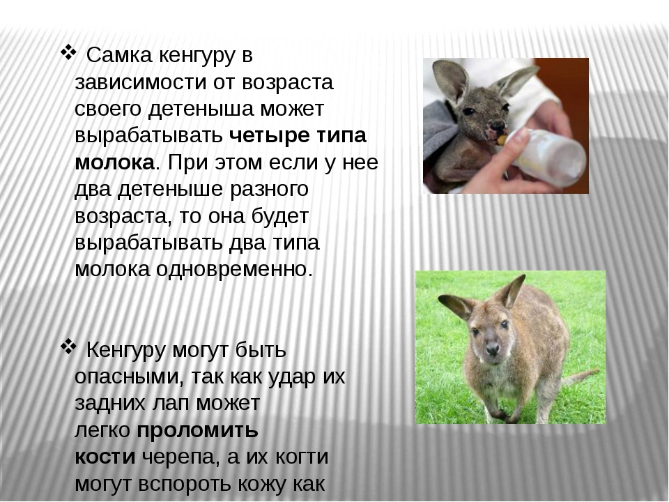 Самка кенгуру в зависимости от возраста своего детеныша может вырабатыватьч...