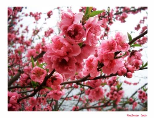 http://img0.liveinternet.ru/images/attach/b/3/21/71/21071713_Sakura_by_PixelShader.jpg