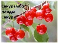 http://img1.liveinternet.ru/images/attach/c/2/68/983/68983103_cherry.jpg