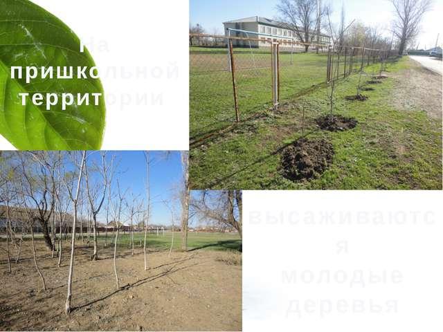 На пришкольной территории высаживаются молодые деревья