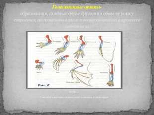 на рис. 2 Гомология передних конечностей наземных позвоночных Гомологичные ор