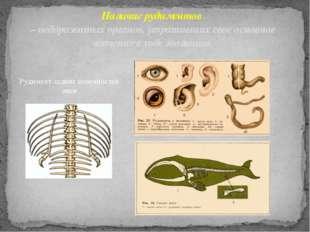 Рудимент задних конечностей змеи Наличие рудиментов – недоразвитых органов, у