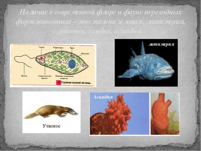 Наличие в современной флоре и фауне переходных форм животных – это эвглена зе...