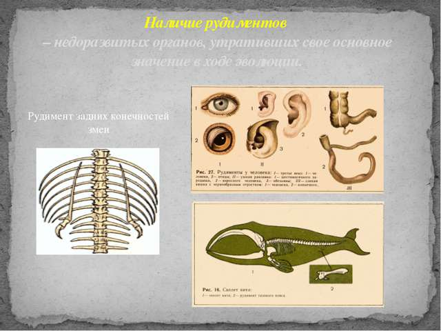 Рудимент задних конечностей змеи Наличие рудиментов – недоразвитых органов, у...