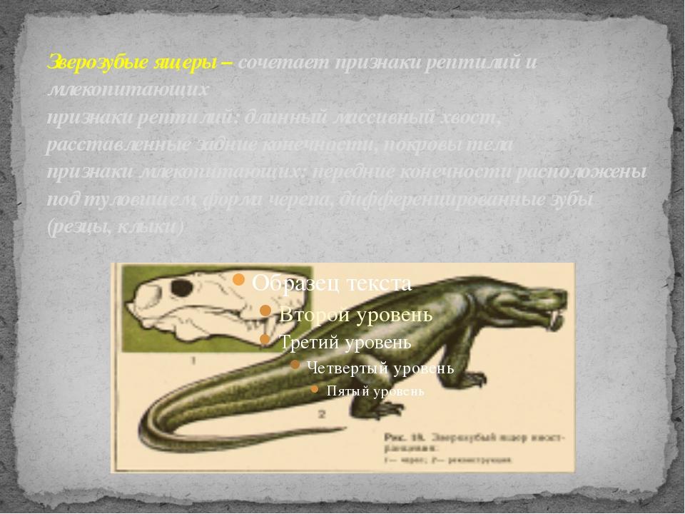 Зверозубые ящеры – сочетает признаки рептилий и млекопитающих признаки рептил...