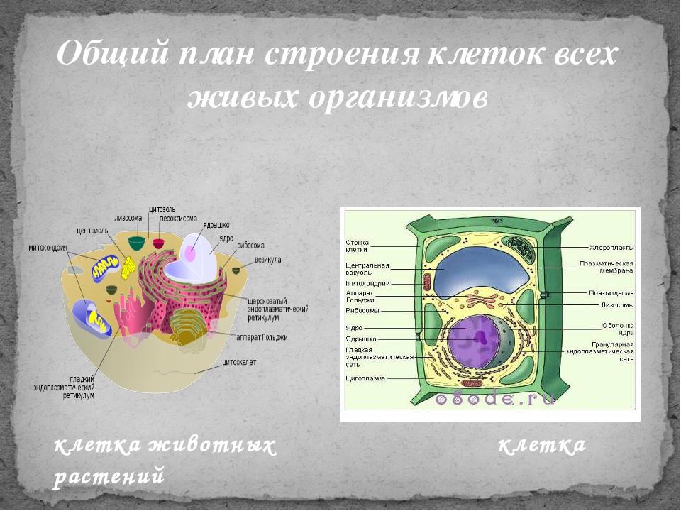 Общий план строения клеток всех живых организмов клетка животных клетка расте...