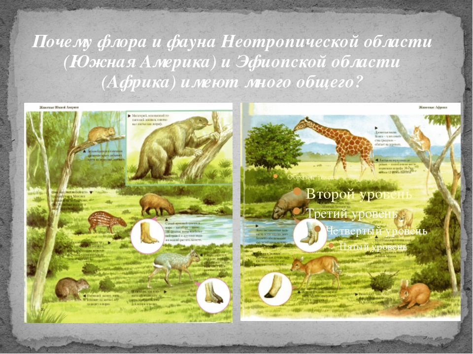 Почему флора и фауна Неотропической области (Южная Америка) и Эфиопской облас...