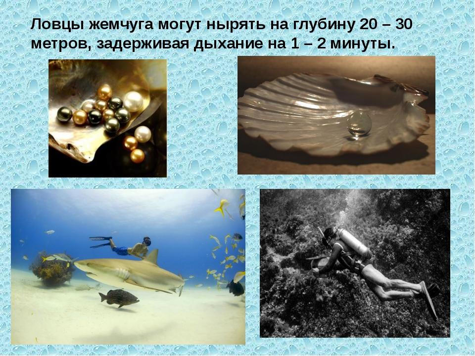 Ловцы жемчуга могут нырять на глубину 20 – 30 метров, задерживая дыхание на 1...