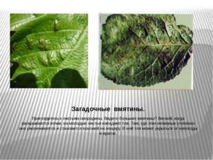 Загадочные вмятины. Приглядитесь к листьям смородины. Видите большие вмятины