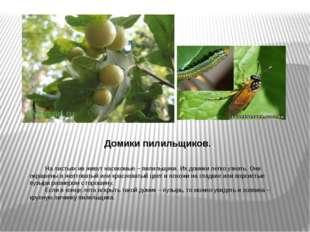 Домики пилильщиков. На листьях ив живут насекомые – пилильщики. Их домики ле