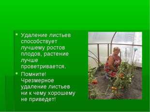 Удаление листьев способствует лучшему ростов плодов, растение лучше проветрив