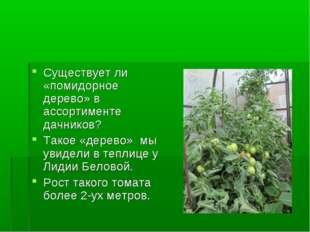 Существует ли «помидорное дерево» в ассортименте дачников? Такое «дерево» мы