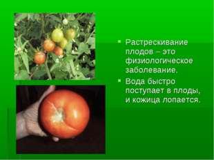 Растрескивание плодов – это физиологическое заболевание. Вода быстро поступае
