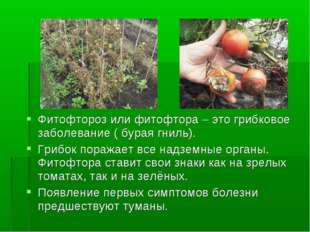 Фитофтороз или фитофтора – это грибковое заболевание ( бурая гниль). Грибок п