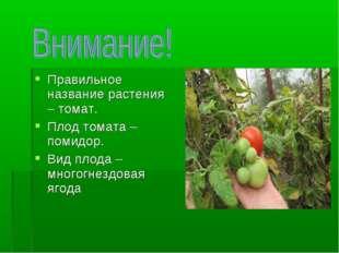 Правильное название растения – томат. Плод томата – помидор. Вид плода – мног
