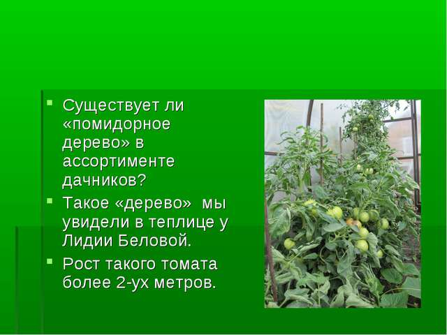 Существует ли «помидорное дерево» в ассортименте дачников? Такое «дерево» мы...