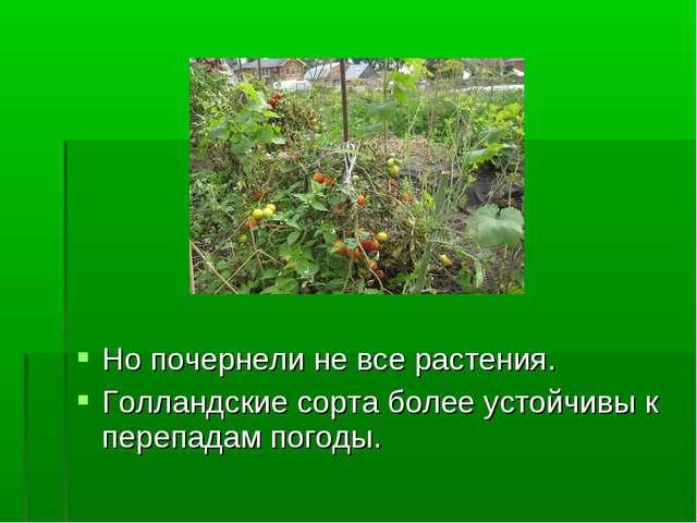 Но почернели не все растения. Голландские сорта более устойчивы к перепадам п...