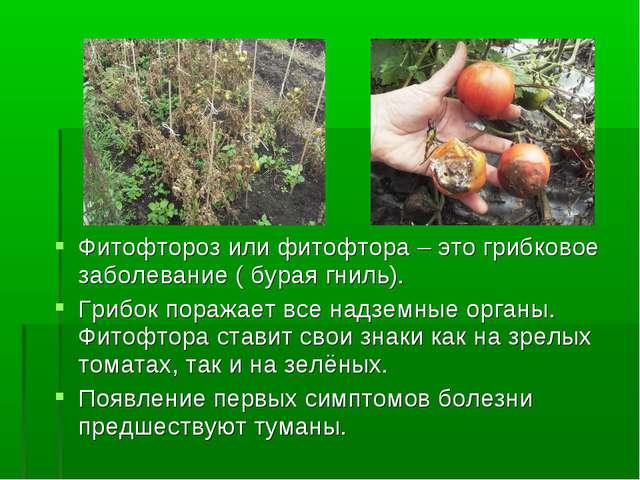 Фитофтороз или фитофтора – это грибковое заболевание ( бурая гниль). Грибок п...